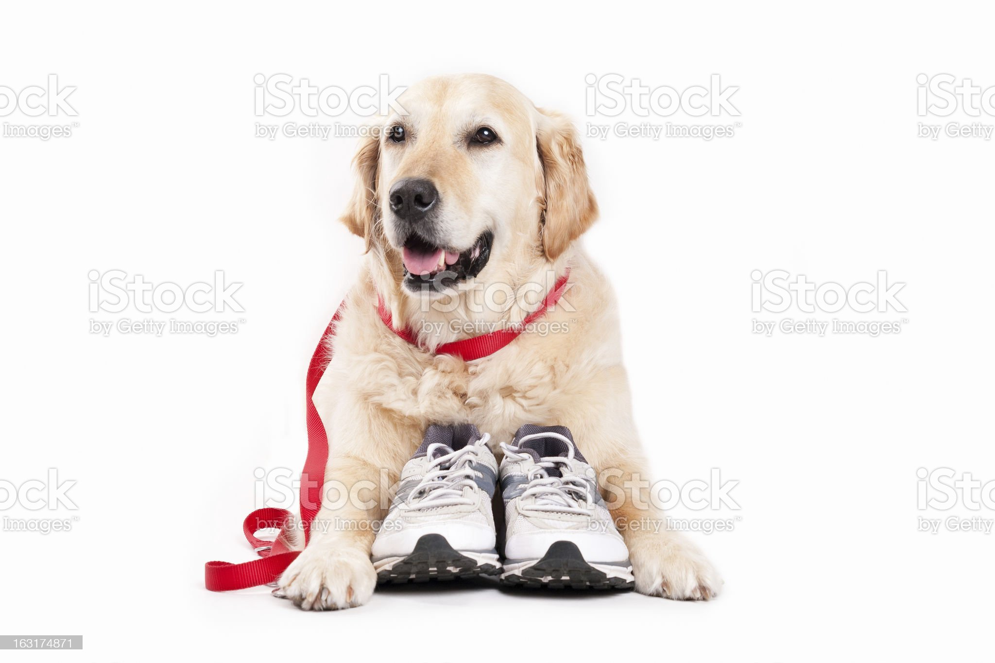 Golden Retriever and shoes royalty-free stock photo