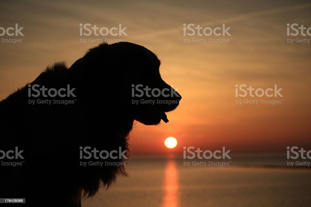 Golden retriever at sunset stock photo