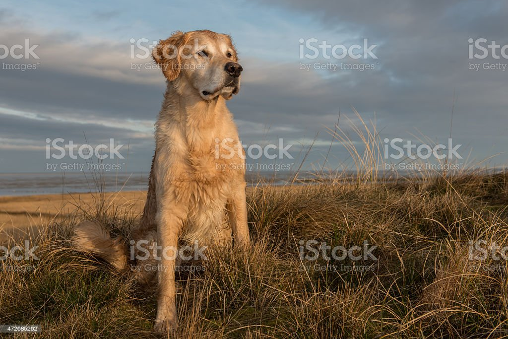 Golden retriever at sunup stock photo