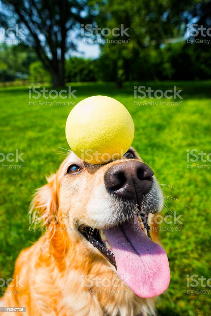 Golden retriever balancing a ball on her nose stock photo