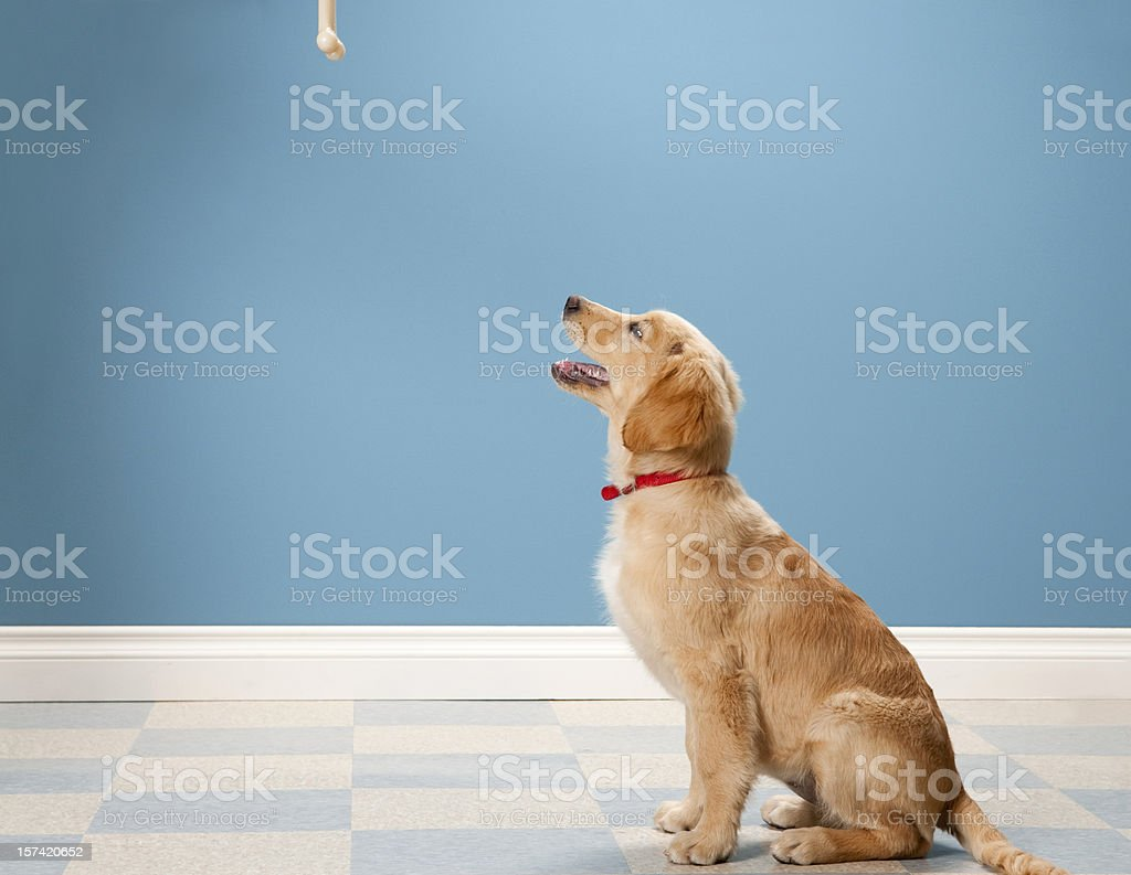 Golden Retriever Begging. royalty-free stock photo