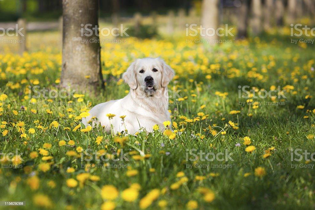 Golden Retriever between dandelions royalty-free stock photo