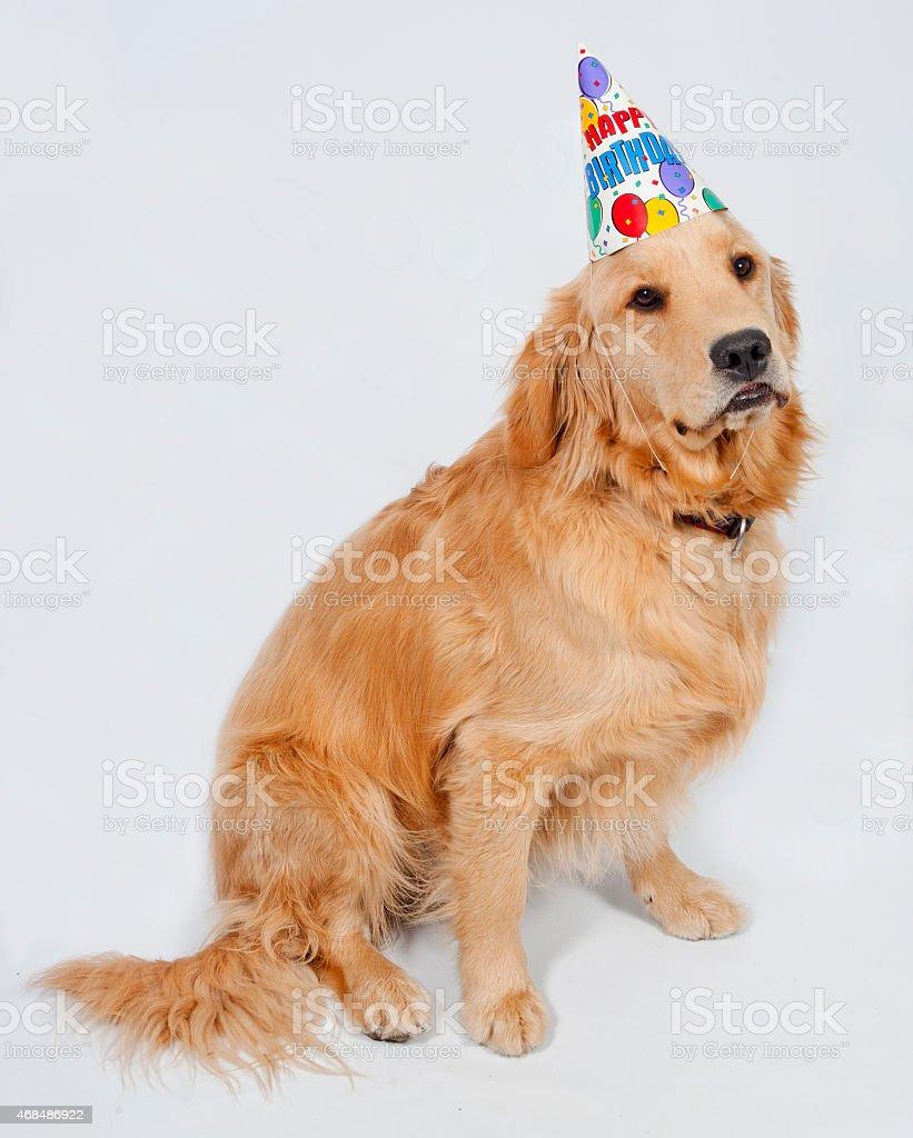 Golden Retriever Birthday Puppy stock photo