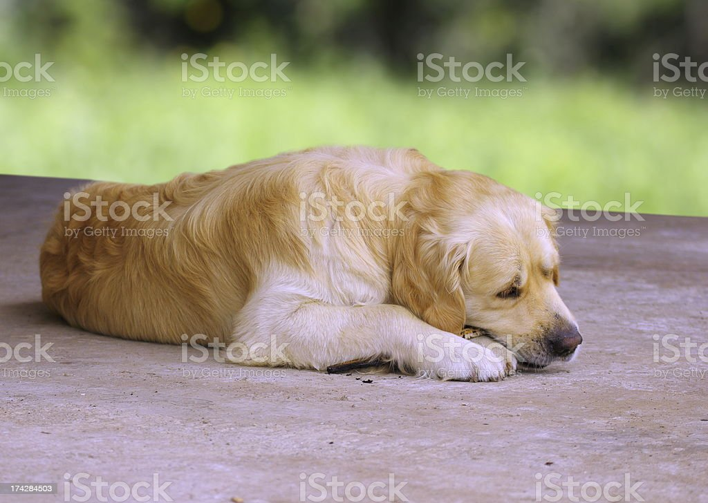 golden retriever chewing a stick royalty-free stock photo