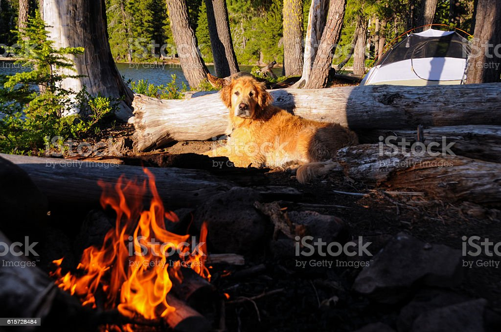 Golden Retriever Does Camping Right stock photo