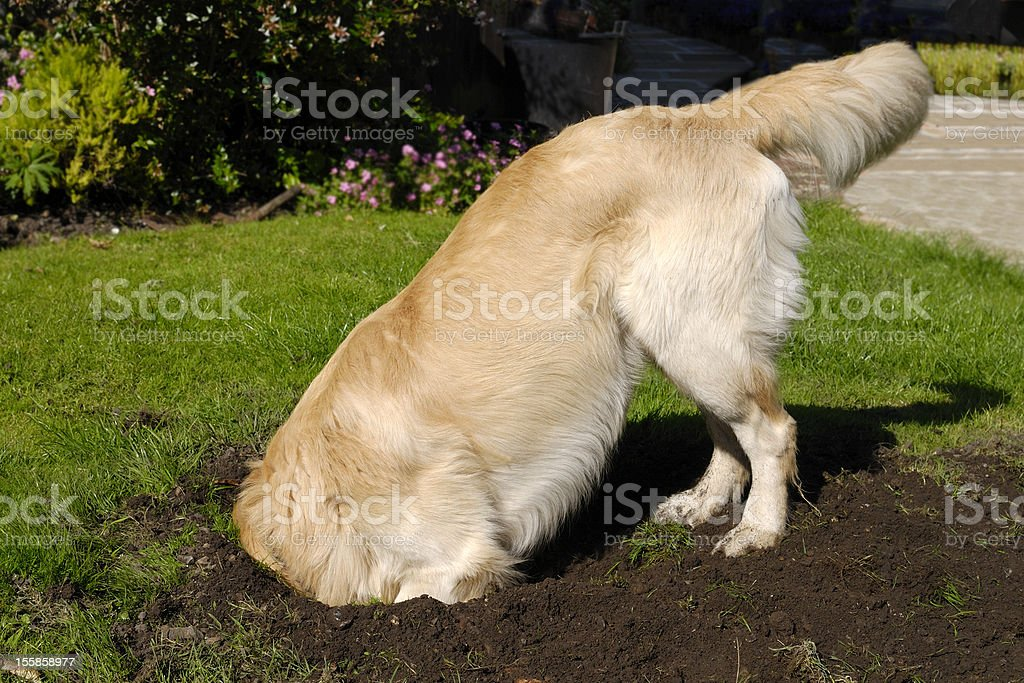 Golden Retriever dog digging hole stock photo