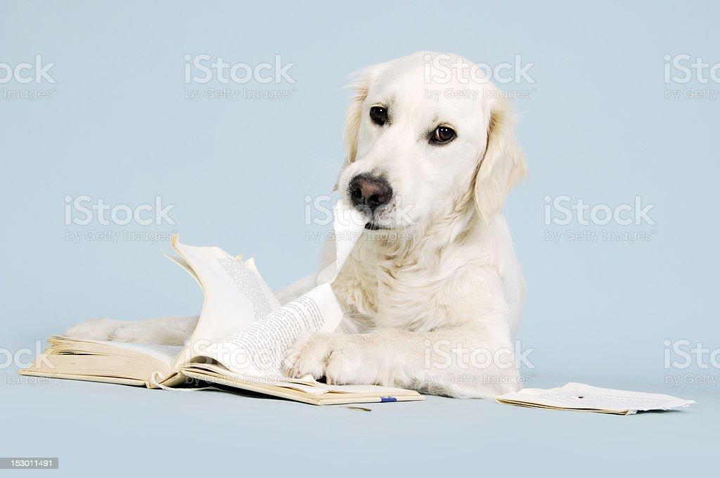 Golden retriever dog eating book stock photo