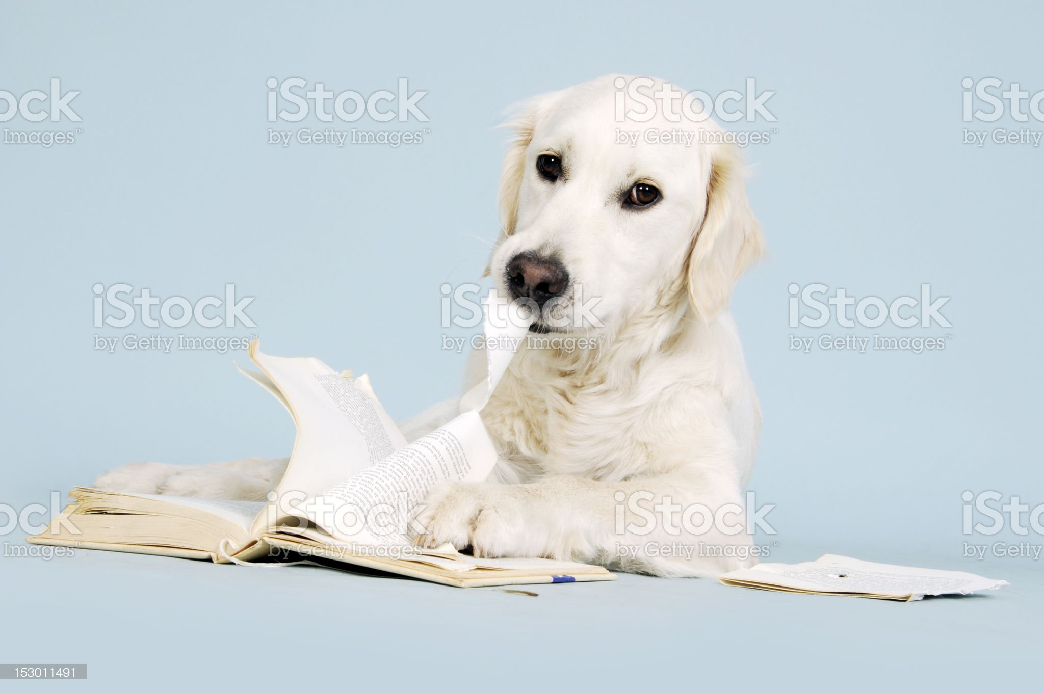 Golden retriever dog eating book royalty-free stock photo