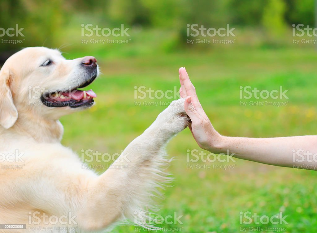 Golden Retriever dog giving paw owner, closeup photo stock photo