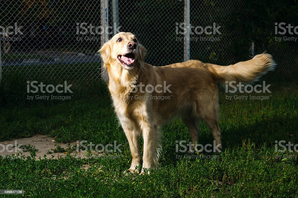 golden retriever dog  in nature stock photo