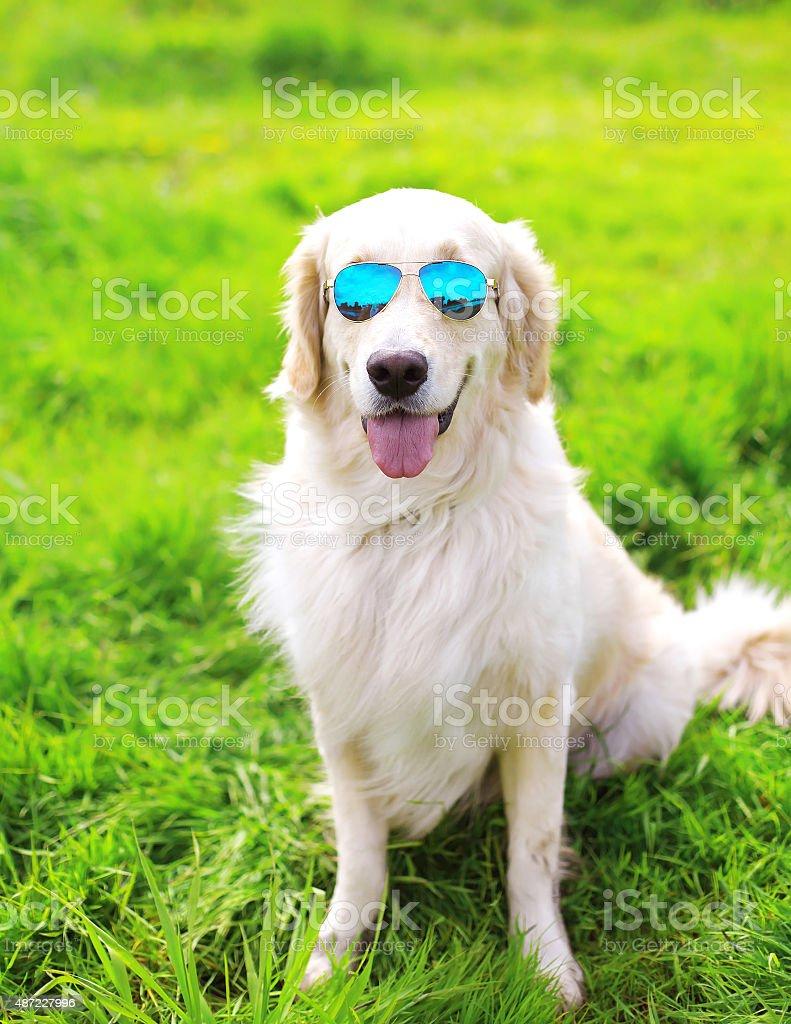 Golden Retriever dog in sunglasses sitting on the grass summer stock photo