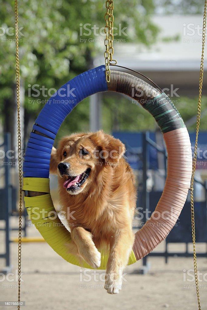 Golden Retriever Dog Jumping Barrier stock photo