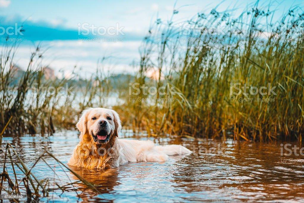 Golden retriever dog lieing in water stock photo