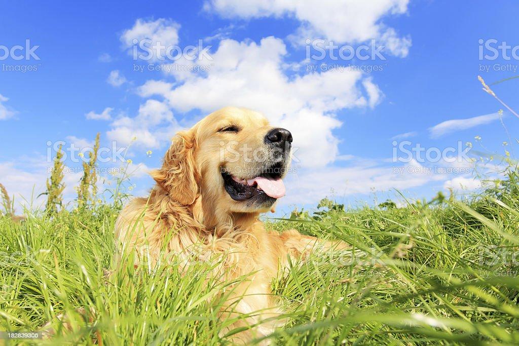 Golden retriever dog on a grassy meadow royalty-free stock photo