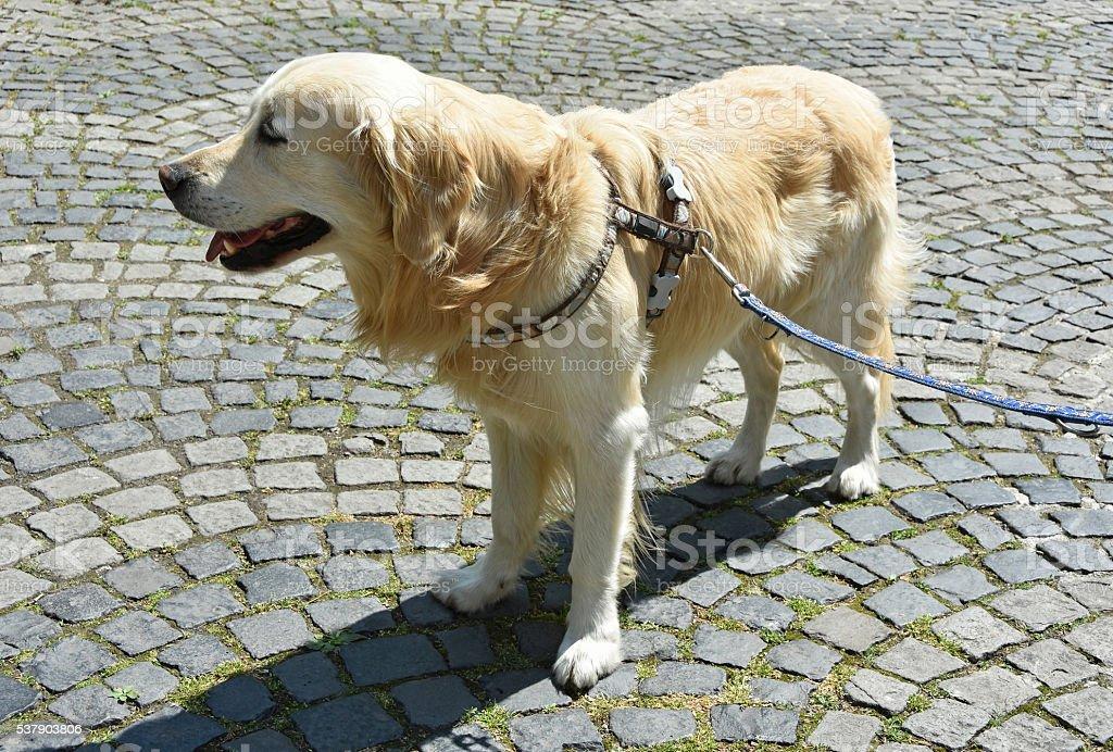 Golden retriever dog on the street stock photo