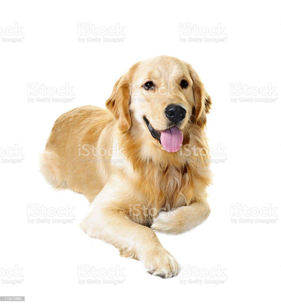 Golden retriever dog stock photo