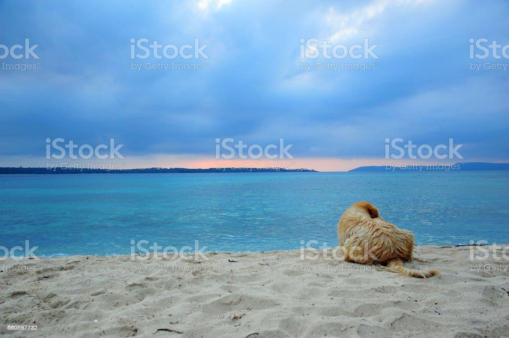 Golden Retriever Dog Relaxing on Beach stock photo