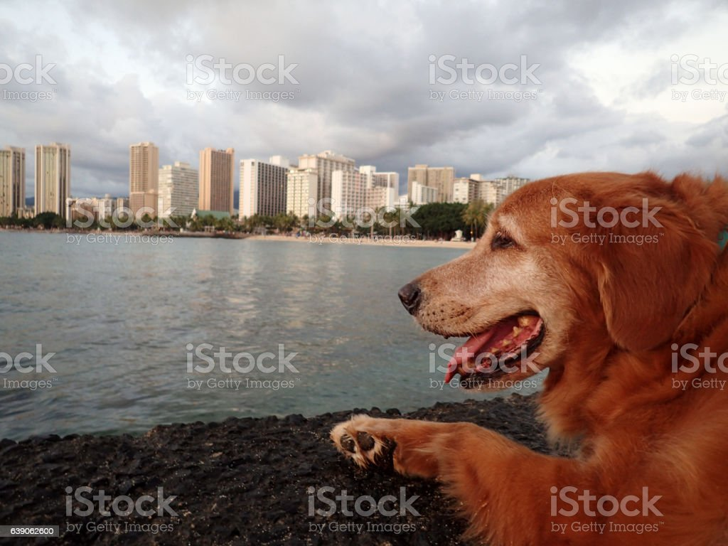 Golden Retriever Dog rest on Pier as he looks at Waikiki stock photo