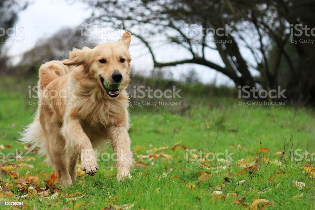 Golden Retriever Dog Running In A Field With A Ball In Her Mouth stock photo