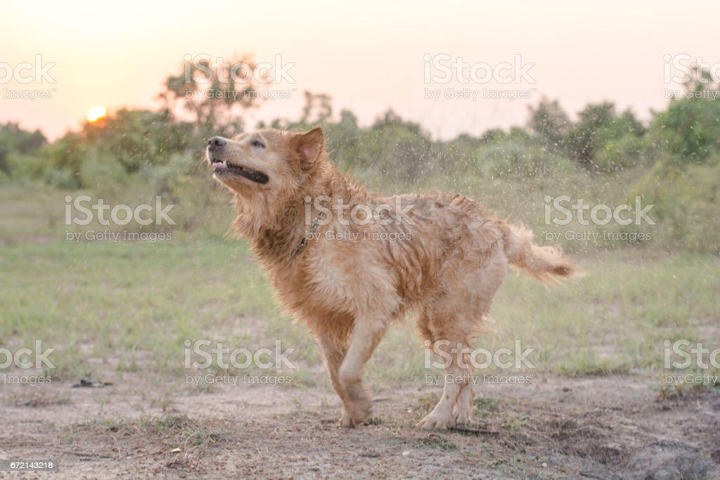 Golden Retriever dog shakes off water after a swim stock photo