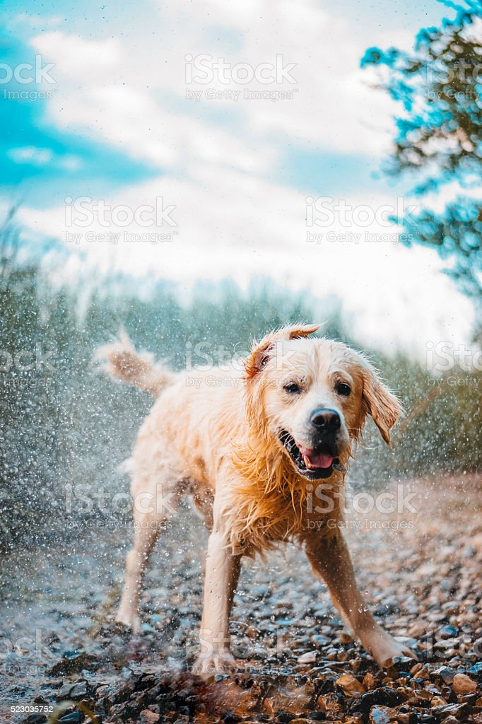 Golden retriever dog shivering wet stock photo