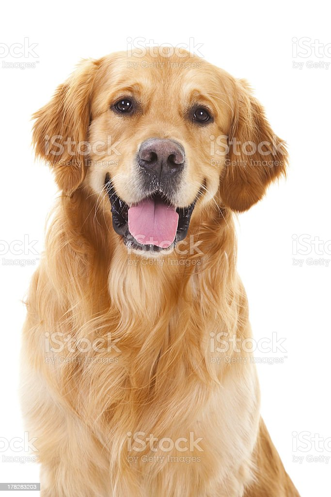 golden retriever dog sitting on isolated white royalty-free stock photo