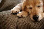 Golden retriever dog sleeping on sofa, close-up