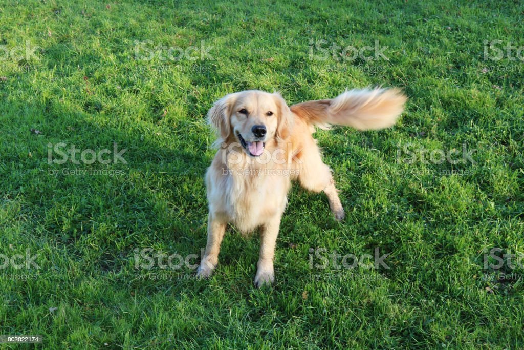 Golden Retriever Dog Standing In A Field Wagging Her Tail stock photo