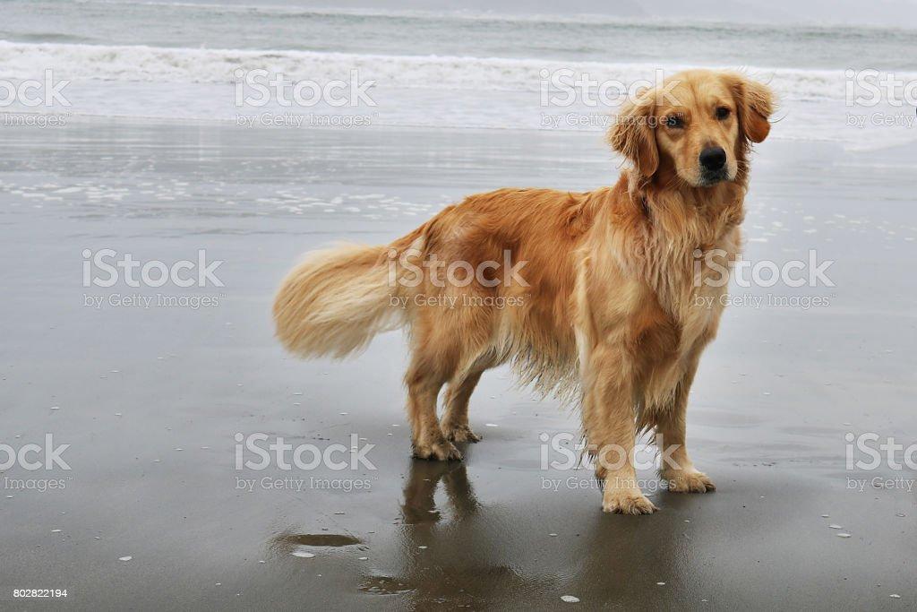 Golden Retriever Dog Standing On A Foggy Beach stock photo