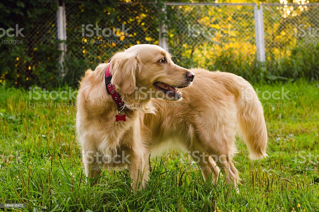 golden retriever dog standing on nature stock photo