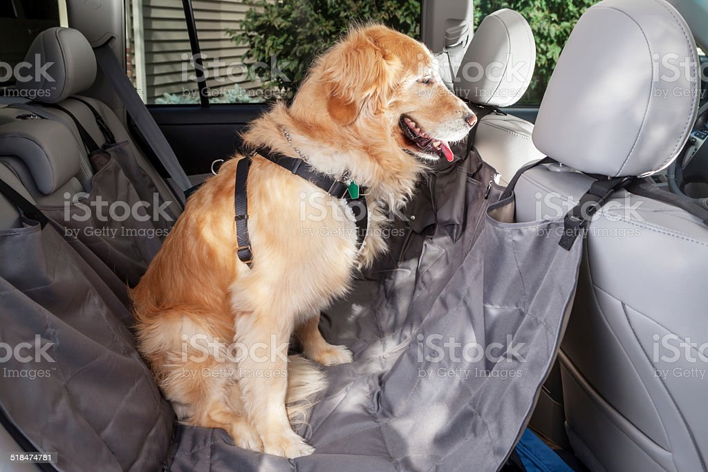 Golden Retriever Dog with Car Harness and Vehicle Hammock stock photo