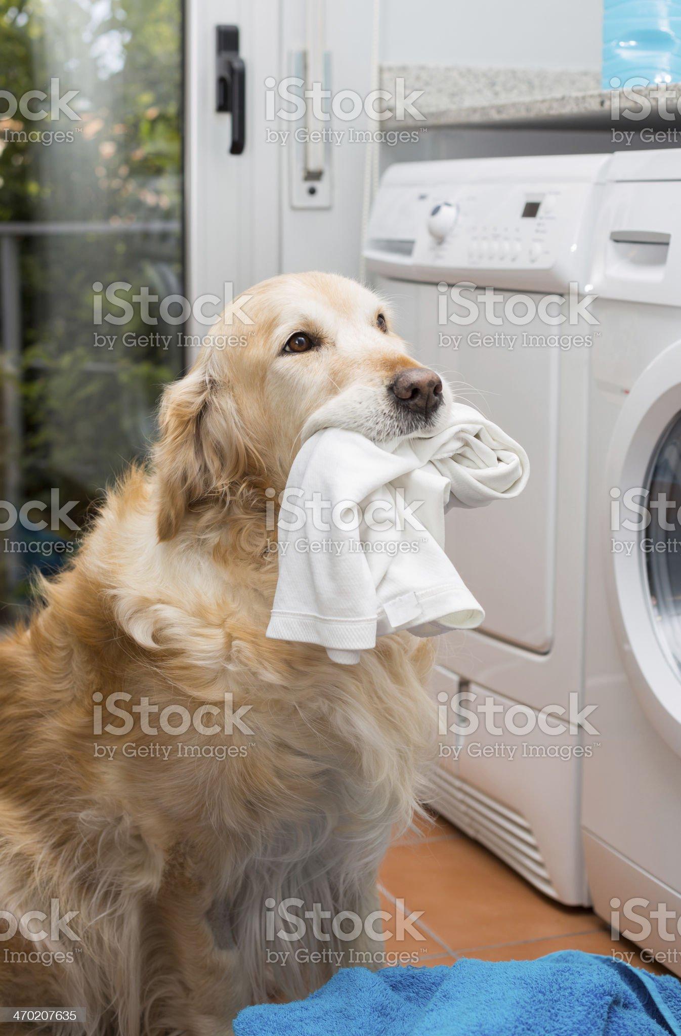 Golden Retriever doing laundry royalty-free stock photo