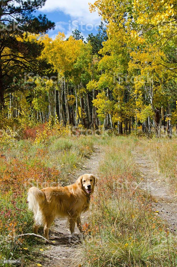 Golden Retriever Explores Mature Aspen Grove in Autumn stock photo