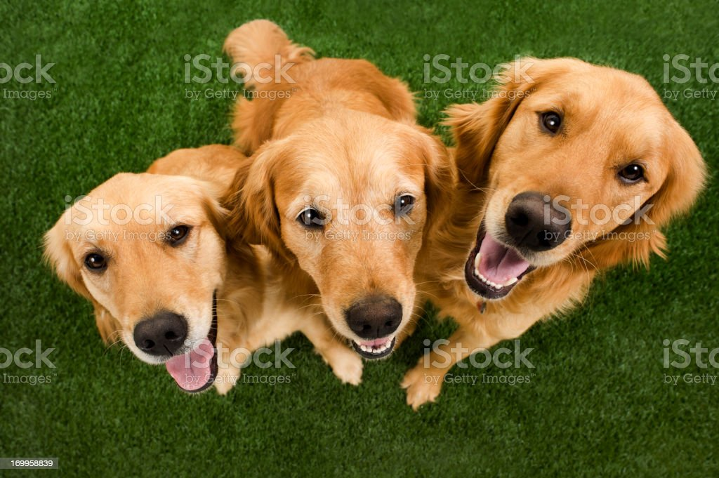 Golden Retriever Family stock photo