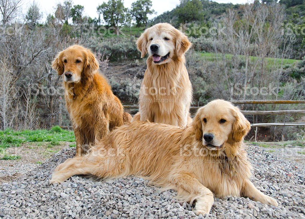 Golden Retriever Family Portrait stock photo