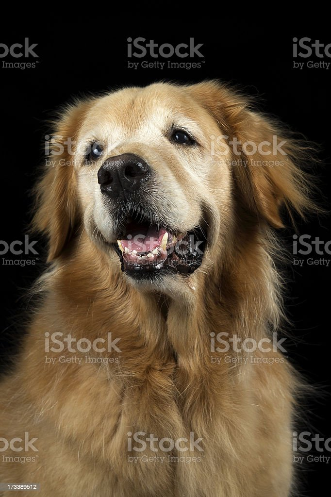 Golden Retriever - Front View Profile royalty-free stock photo