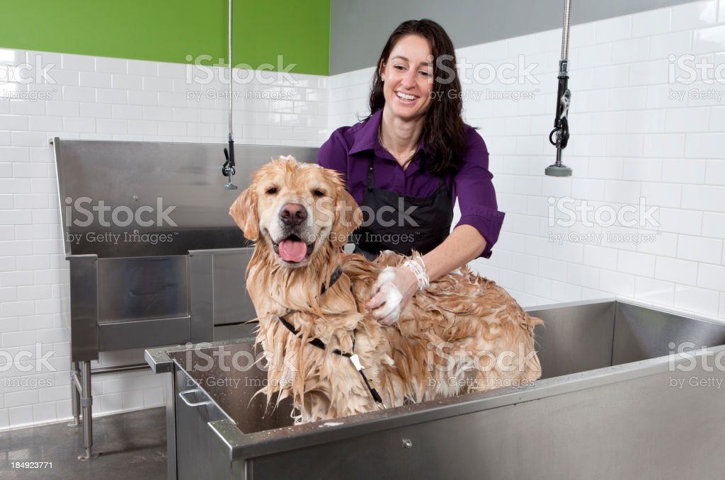Golden Retriever Getting a Bath at Self Service Dog Wash. royalty-free stock photo
