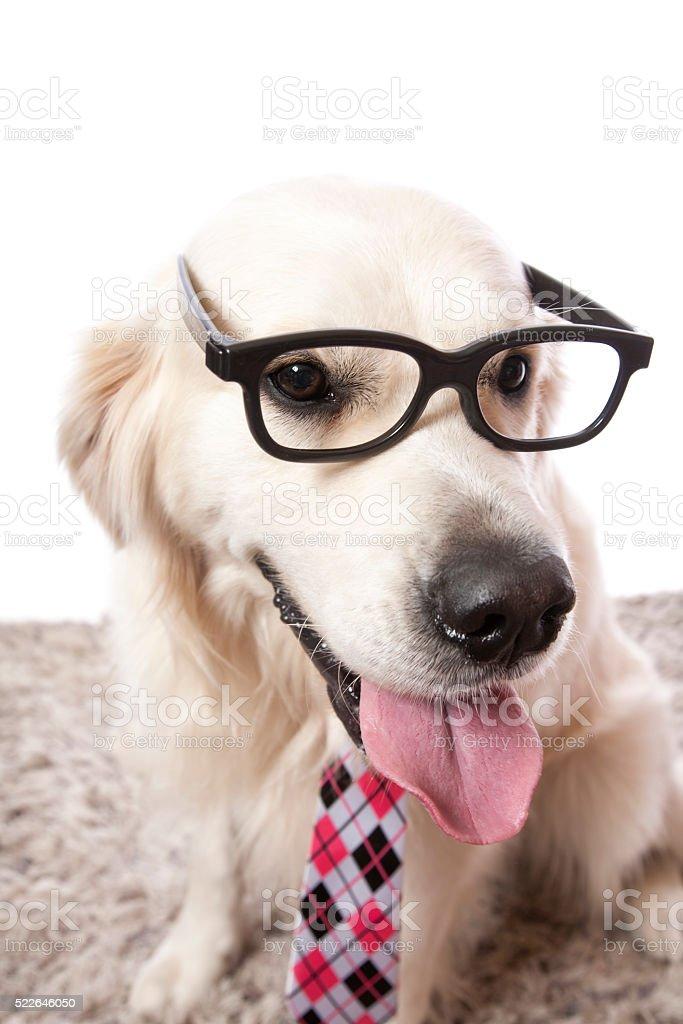 Golden Retriever Glasses stock photo