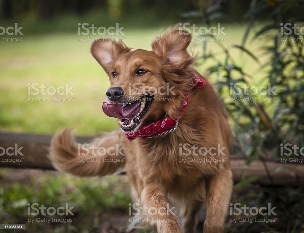 Golden Retriever Happily Jumping Fence Rail stock photo