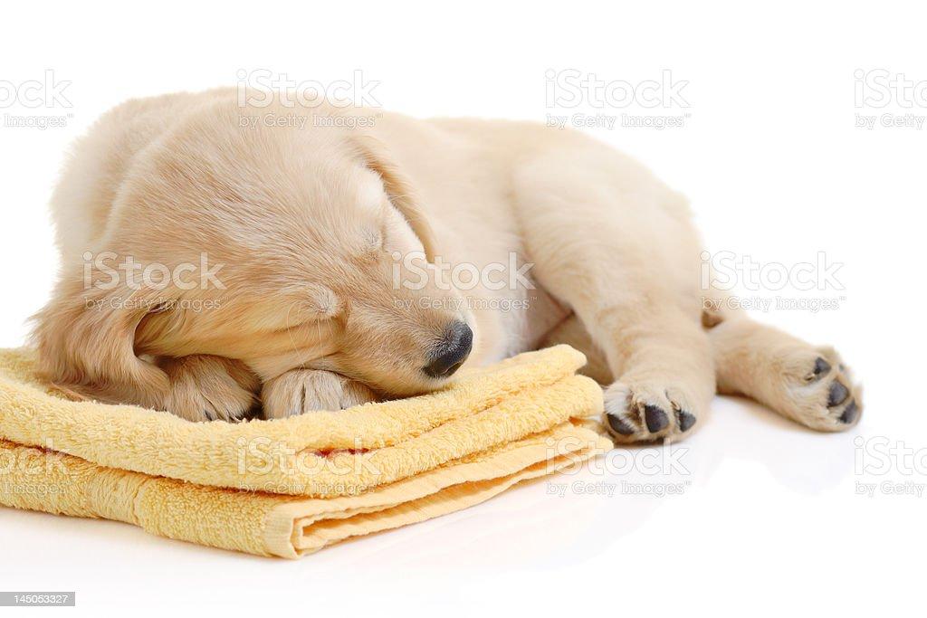 Golden retriever having a nap royalty-free stock photo