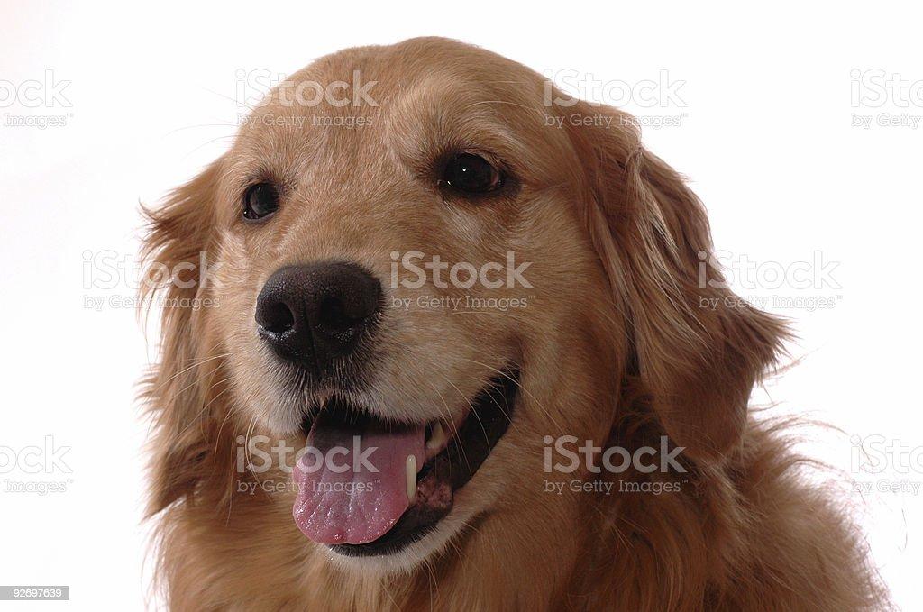 Golden retriever head royalty-free stock photo