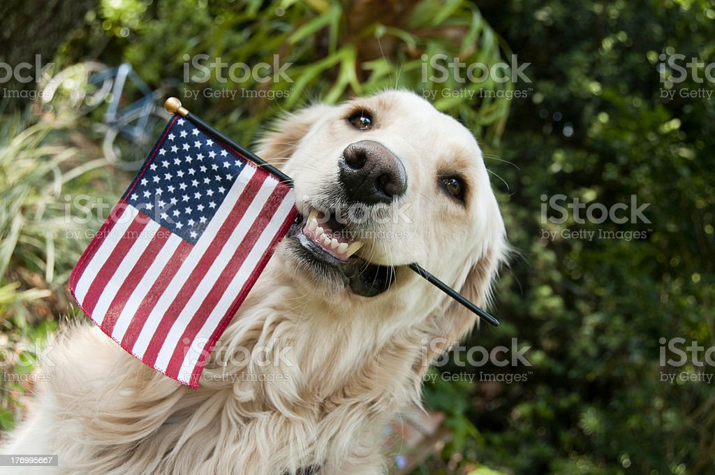 Golden retriever holding American Flag in mouth royalty-free stock photo