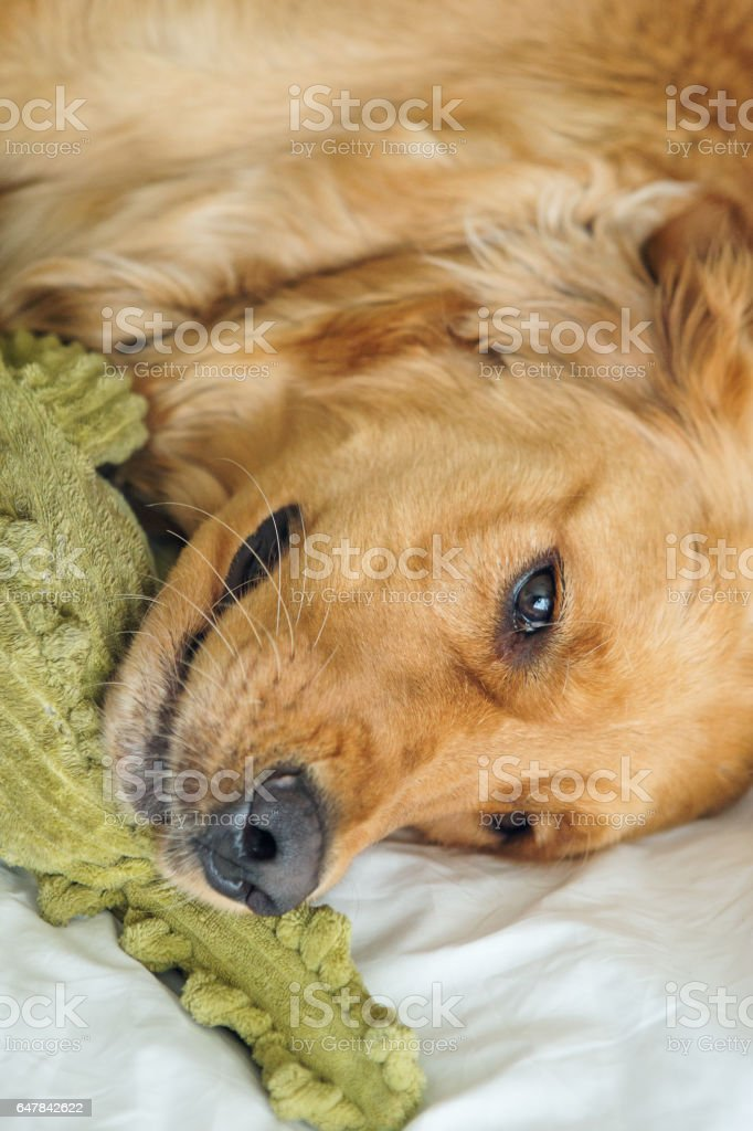 Golden Retriever hugging with toy in bed stock photo