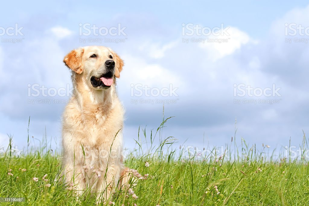 Golden retriever in a field with a cloudy sky stock photo