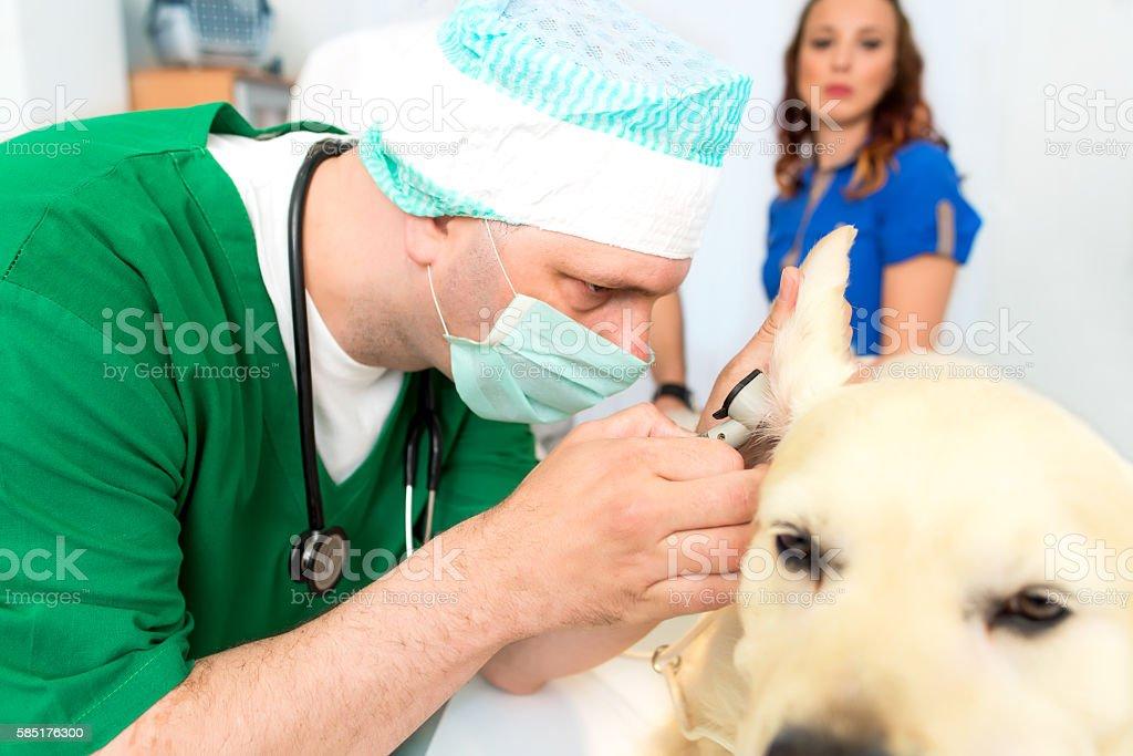 Golden Retriever in Animal Hospital stock photo