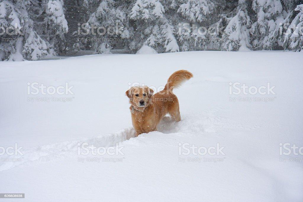 Golden Retriever In Deep Snow stock photo