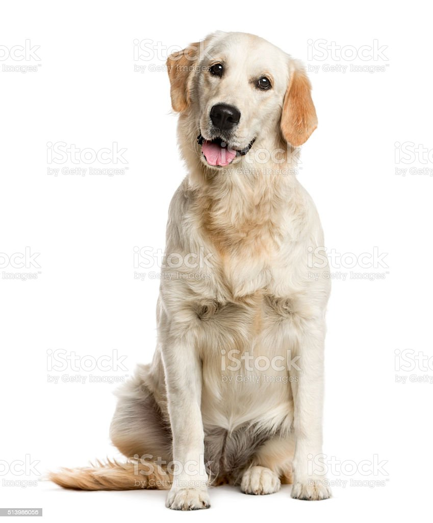 Golden Retriever in front of a white background stock photo