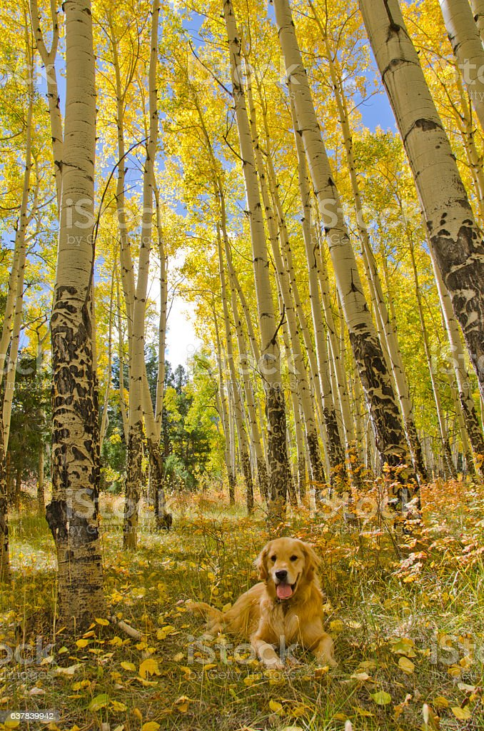 Golden Retriever in Mature Aspen Grove in Autumn stock photo
