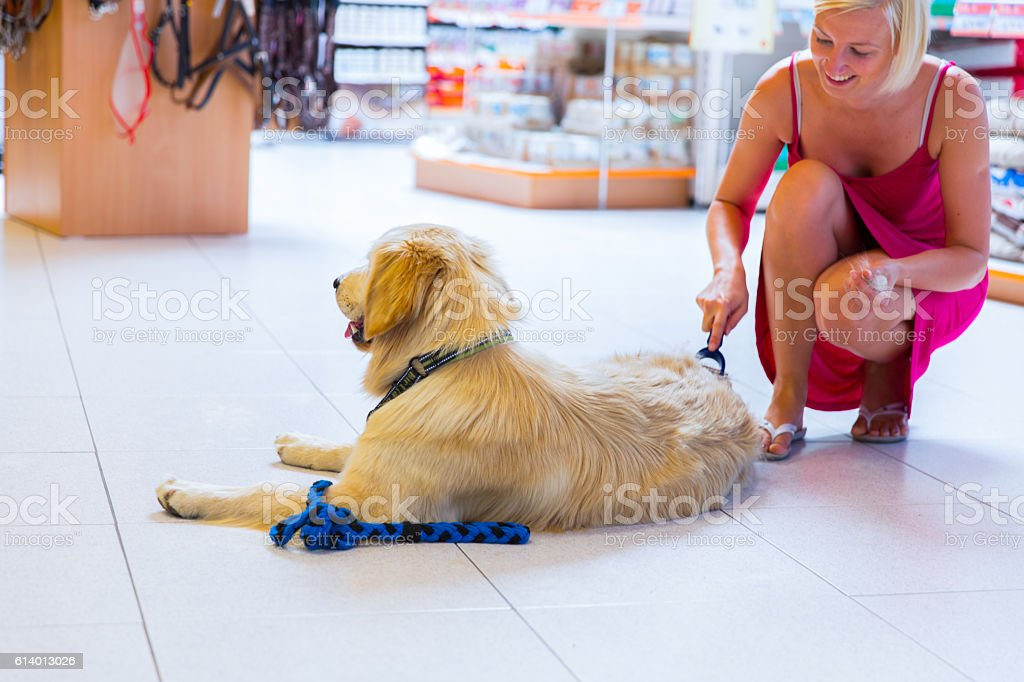 Golden retriever in pet store...owner is brushing him stock photo