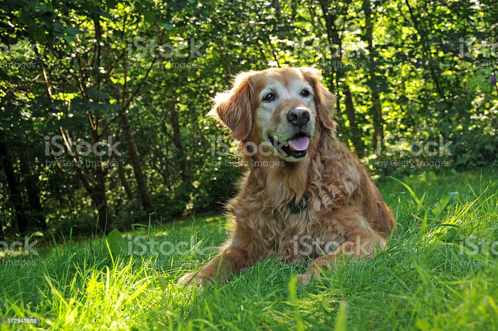 Golden retriever in the grass in front of trees royalty-free stock photo